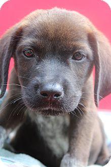 Hound (Unknown Type) Mix Puppy for adoption in Waldorf, Maryland - Daco