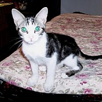 Domestic Shorthair Cat for adoption in Houston, Texas - Kelly