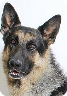 German Shepherd Dog Dog for adoption in Truckee, California - Harper