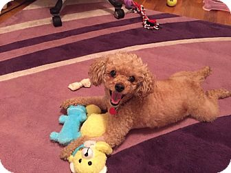 Poodle (Miniature) Dog for adoption in Brooklyn, New York - Britney