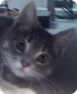 Domestic Shorthair Cat for adoption in Knoxville, Iowa - Patrick