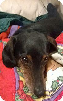 Dachshund Dog for adoption in Decatur, Georgia - Thrift