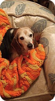 Beagle Mix Dog for adoption in Greenville, South Carolina - Otis