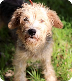 Border Terrier Dog for adoption in Jacksonville, Florida - ARNOLD