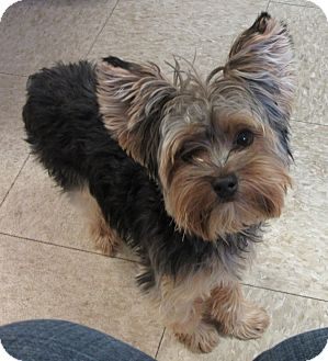 Yorkie, Yorkshire Terrier Puppy for adoption in Glenwood, Minnesota - Sunny