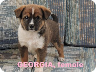 Border Collie Puppy for adoption in Denver City, Texas - Georgia