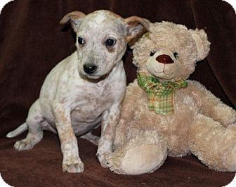 Jack Russell Terrier/Blue Heeler Mix Puppy for adoption in Newark, New Jersey - Plum