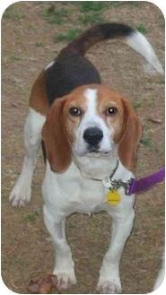 Beagle Dog for adoption in Portland, Ontario - Challenger