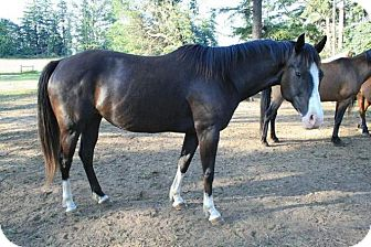 Quarterhorse Mix for adoption in Bellingham, Washington - Willow