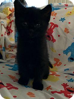 Domestic Shorthair Kitten for adoption in Parkton, North Carolina - Kittens