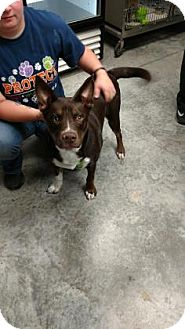 Husky/American Bulldog Mix Dog for adoption in Paducah, Kentucky - Brewer