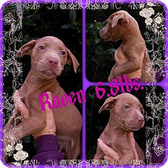Labrador Retriever/Hound (Unknown Type) Mix Puppy for adoption in Sumter, South Carolina - Raven