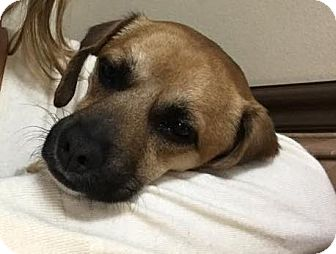 Chihuahua/Dachshund Mix Puppy for adoption in Las Vegas, Nevada - Courage