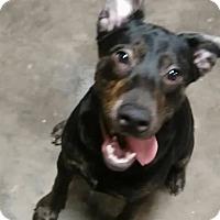 Adopt A Pet :: Dakota - Harrison, AR
