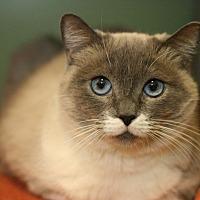 Siamese Cat for adoption in Canoga Park, California - Channel