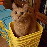 Adopt A Pet :: Mr. Butters (Butterscotch) - Chesapeake, VA