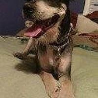 Schnauzer (Standard) Mix Dog for adoption in Hampton, Virginia - SCOOBY