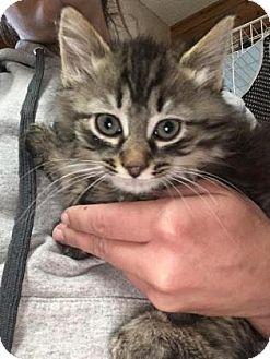 Domestic Mediumhair Kitten for adoption in Cashiers, North Carolina - Apollo