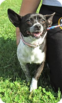 Corgi/Chihuahua Mix Dog for adoption in Reeds Spring, Missouri - Betty Boop