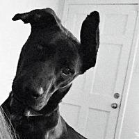 Mixed Breed (Medium)/Labrador Retriever Mix Dog for adoption in Little Rock, Arkansas - Azalea