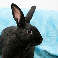 Adopt A Pet :: Kuro - Pflugerville, TX
