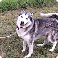 Husky Mix Dog for adoption in Portland, Maine - Gunner