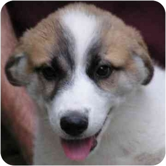 Great Pyrenees Mix Puppy for adoption in Brodheadsville, Pennsylvania - Ned