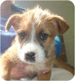 Labrador Retriever/Terrier (Unknown Type, Small) Mix Puppy for adoption in Old Bridge, New Jersey - Nixon