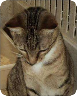 Domestic Shorthair Cat for adoption in Crescent, Oklahoma - Toth