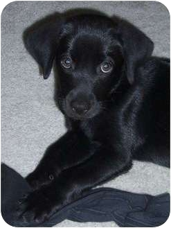 Labrador Retriever Mix Puppy for adoption in Bel Air, Maryland - Devon