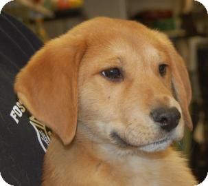 Labrador Retriever Mix Puppy for adoption in Brooklyn, New York - Latte