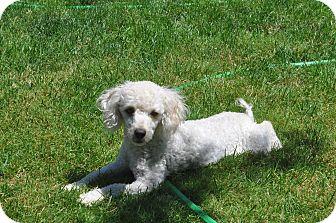 Poodle (Miniature) Mix Dog for adoption in Tumwater, Washington - Esme