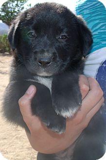 Labrador Retriever Mix Puppy for adoption in Corona, California - KETCHUP