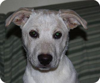 German Shepherd Dog Mix Puppy for adoption in kennebunkport, Maine - Bella - PENDING