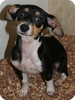 Chihuahua/Dachshund Mix Puppy for adoption in Pilot Point, Texas - BIANCA