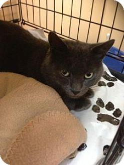 Domestic Shorthair Cat for adoption in Medford, Massachusetts - Buddy