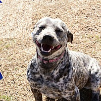 American Pit Bull Terrier/Blue Heeler Mix Dog for adoption in Davis, Oklahoma - Myra Oks31