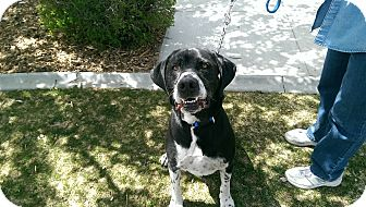 Great Dane/Hound (Unknown Type) Mix Dog for adoption in Gardnerville, Nevada - Blaze