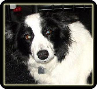 Border Collie Dog for adoption in Kirkland, Quebec - Hope