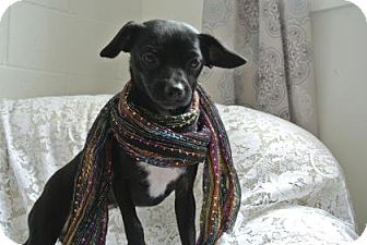 Chihuahua/Miniature Pinscher Mix Dog for adoption in Redmond, Oregon - Pearl