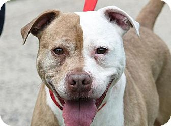 American Pit Bull Terrier Mix Dog for adoption in New Haven, Connecticut - MADDIE