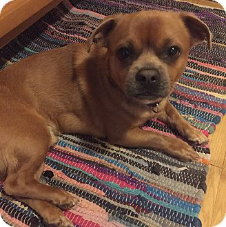 Pug/Chihuahua Mix Dog for adoption in East Hartford, Connecticut - Fredward in CT
