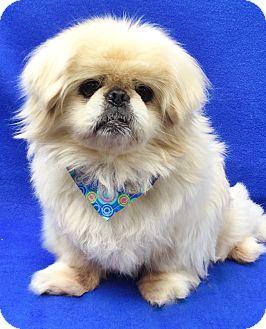 Pekingese Dog for adoption in Irvine, California - Buddy