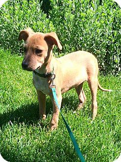 Shepherd (Unknown Type)/Labrador Retriever Mix Puppy for adoption in Elgin, Illinois - *Emmitt