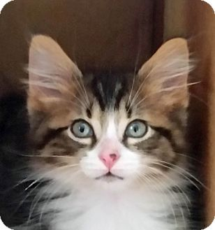 Domestic Mediumhair Kitten for adoption in Troy, Michigan - EpperPepper