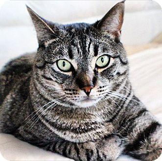 Domestic Shorthair Cat for adoption in Berkeley, California - Oliver