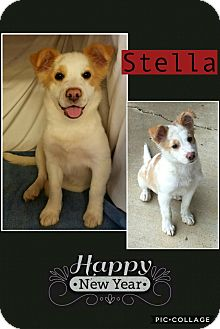 Australian Shepherd Mix Puppy for adoption in East Hartford, Connecticut - Stella pending adoption