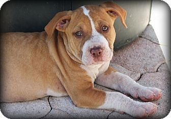 American Bulldog Mix Puppy for adoption in Ft. Lauderdale, Florida - Patrick