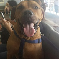 Boxer Mix Dog for adoption in Tampa, Florida - CUBBER
