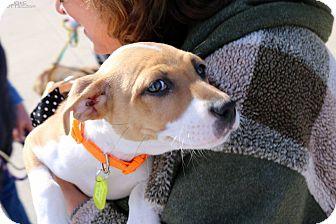 Beagle/Boxer Mix Puppy for adoption in Sugar Grove, Illinois - Millie Jean